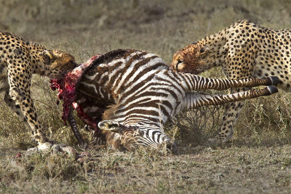 Coalition of brothers compete for the zebra.