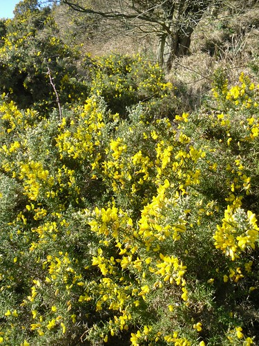 broom gorse