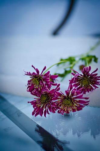 cold petals