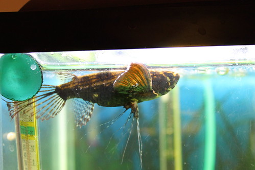 African butterfly fish 114765 for African butterfly fish
