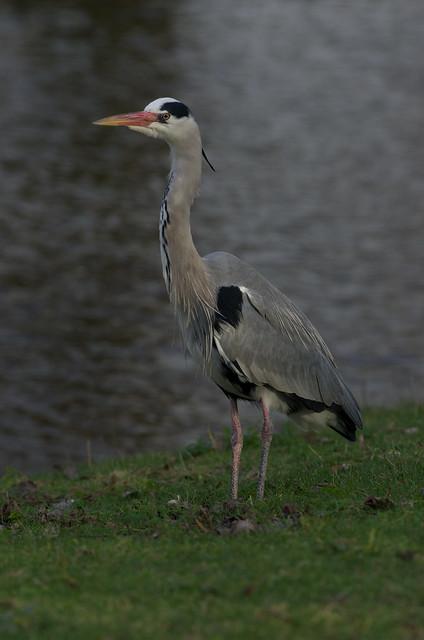 grey heron-2