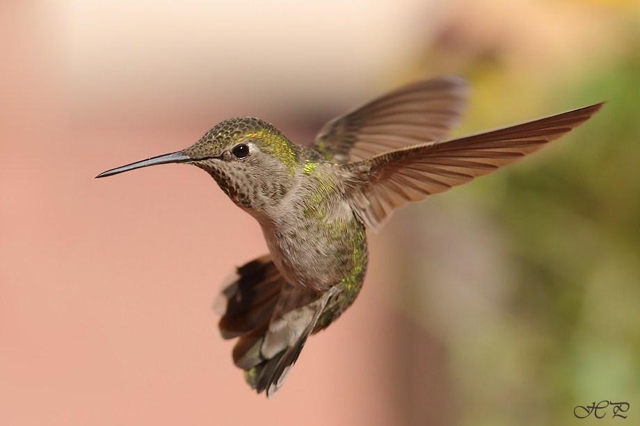 Anna's Hummingbird 021712-3