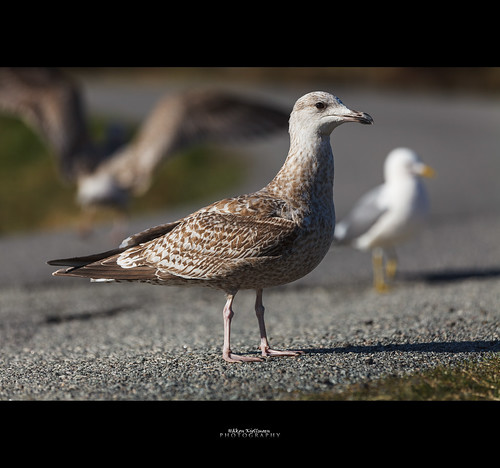 United colors of gulls by Håkon Kjøllmoen, Norway