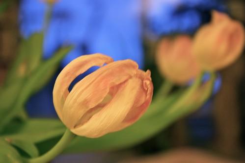 Tulip Skeletons