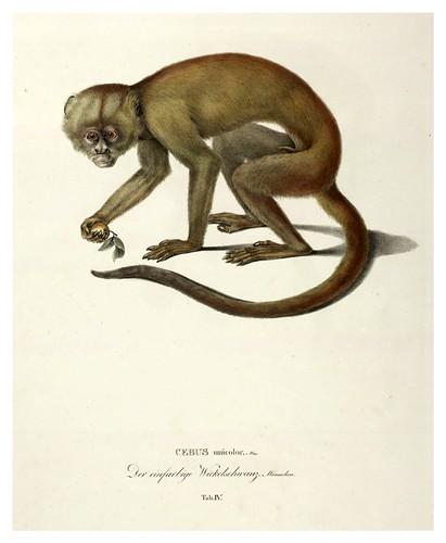 002-Simiarum et Vespertilionum Brasiliensium especies novae 1823- Baptist von Spix