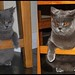 British Shorthair - Kitten to fully grown cat!