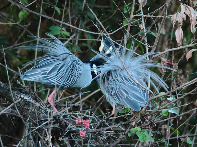 Yellow-crowned Night Heron pair displaying 8-20120304