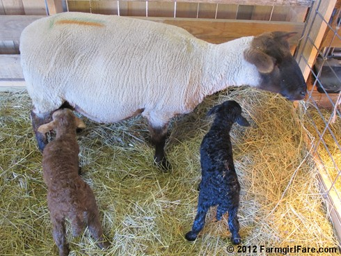 Friday random lamb photos 8 - FarmgirlFare.com