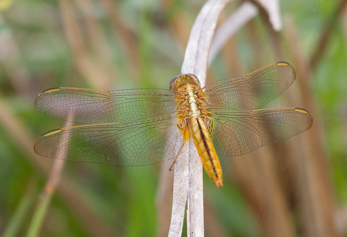 female Scarlet Skimmer