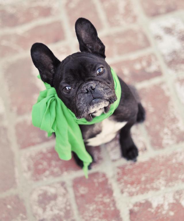 leroy with green scarf  -   black french bulldog