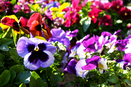 Purple pansy.