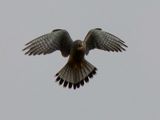THE KESTREL THE PERFECT HOVER