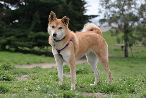 26 March 2012: Holly, Shiba mix from Taiwan