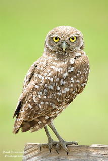 Burrowing Owl Side View at Cape Coral, Florida