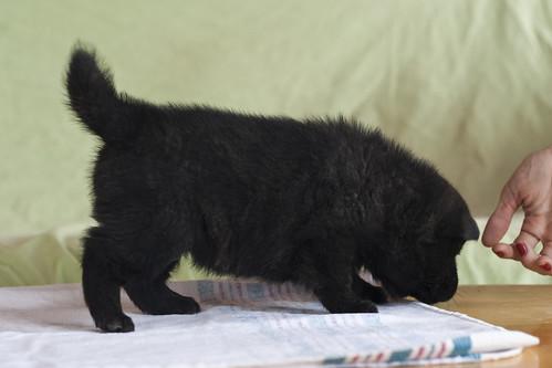 Ayu-Litter1-Day30-Puppy2-Female-b
