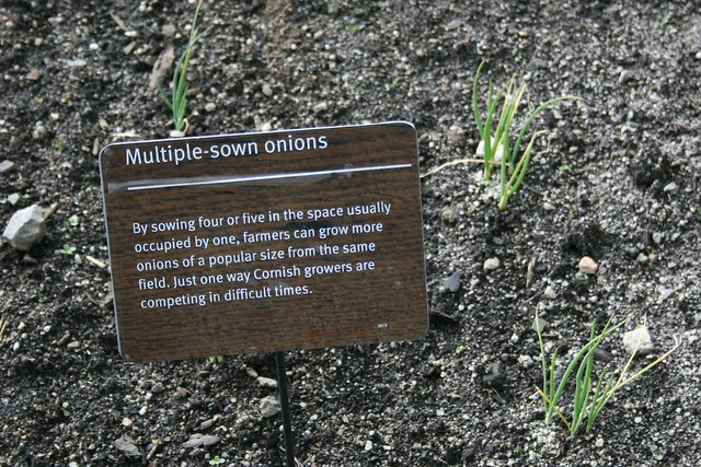 Multisown onions