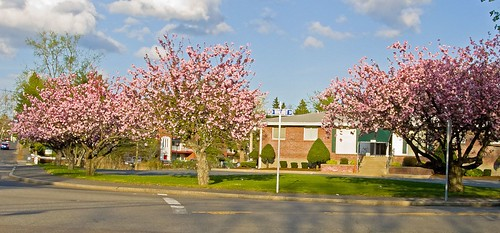 Cherry Blossoms on Walnut Street in Framingham by Barbara L. Slavin