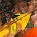 Climbing Mantella - Photo (c) BERNARD, some rights reserved (CC BY-NC-SA)