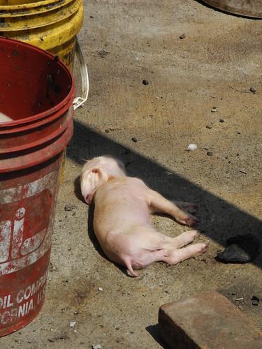 Dead Piglet