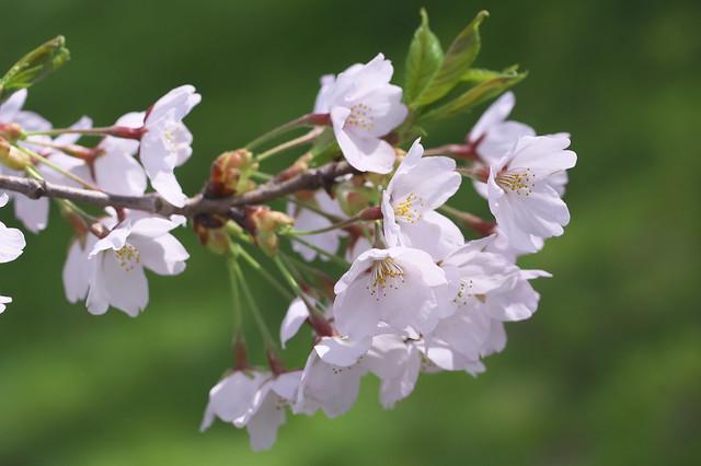 Sakura Closeup - Macro