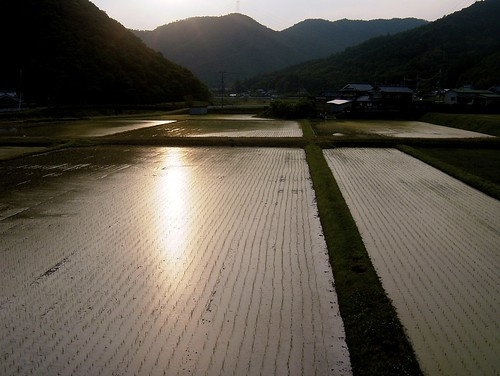 Rice fields, 1