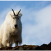 Mountain Goat by jplphoto