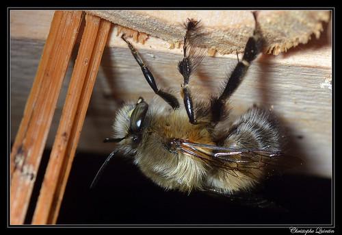 Anthophora plumipes