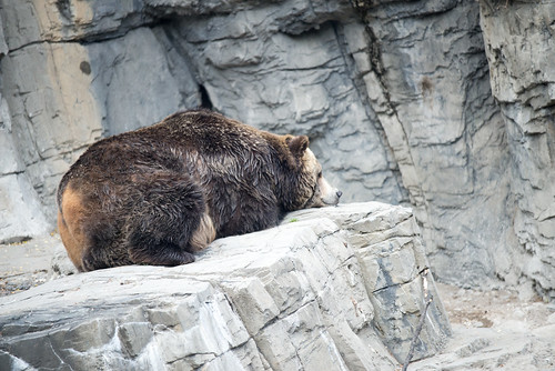 Bear in Central Park Zoo