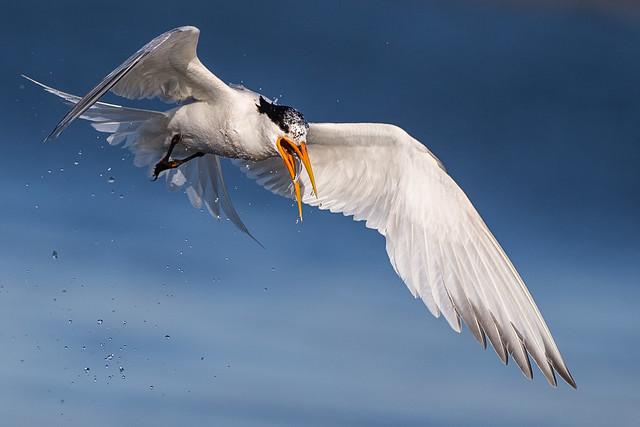Elegant Tern Swallowing a Fish in Flight