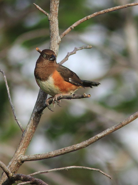 Eastern Towhee female 20120222