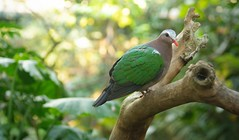 black chinned fruit dove (ptilinopus leclancheri)