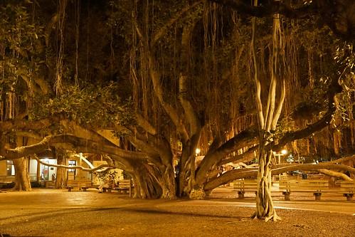 2012-02-10 02-19 Maui, Hawaii 020 Lahaina, Banyan Tree