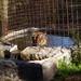 Tiger Chillin' @ Big Cat Rescue