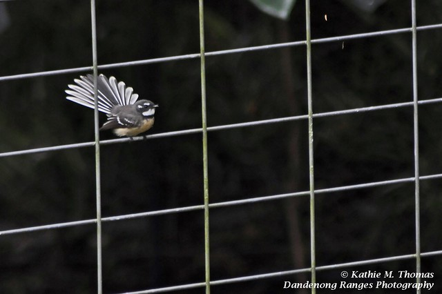 Grey Fantail displays his tail