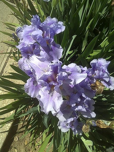 Texas iris
