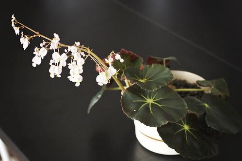 Flowering Begonia