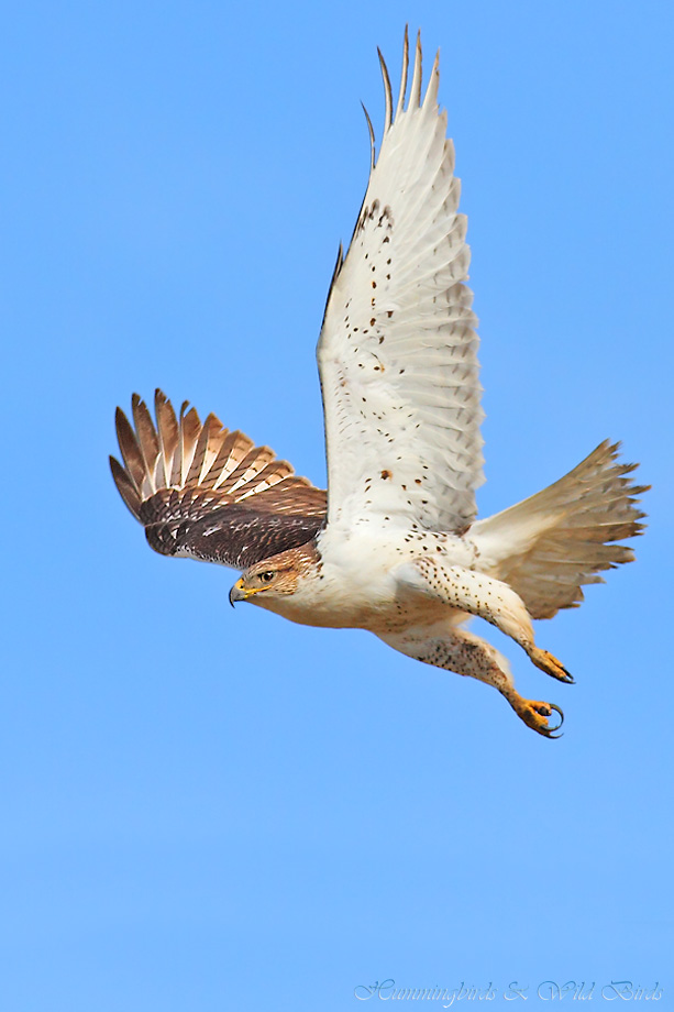 Ferruginous-Hawk-111211-3