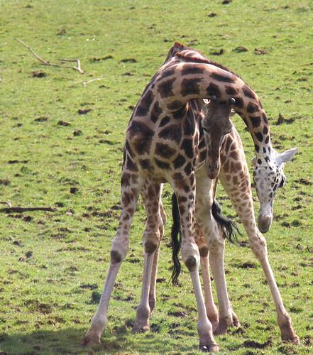 Intimate Giraffes