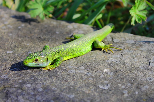 Lagarto verde #photography #photo #foto #flickr ,  DPP_0031