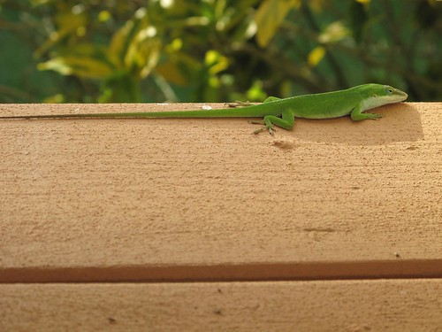 Lizard at Inn Paradise.