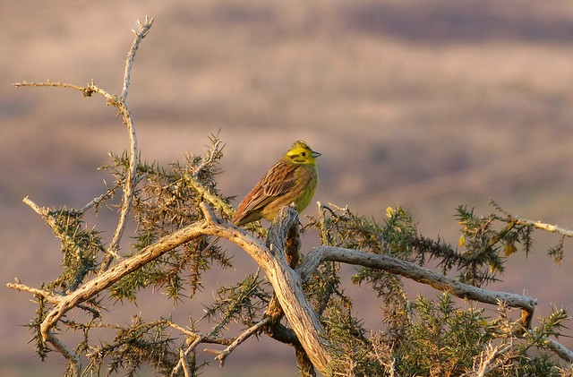 25804 - Yellowhammer, Bryn-bach-Common