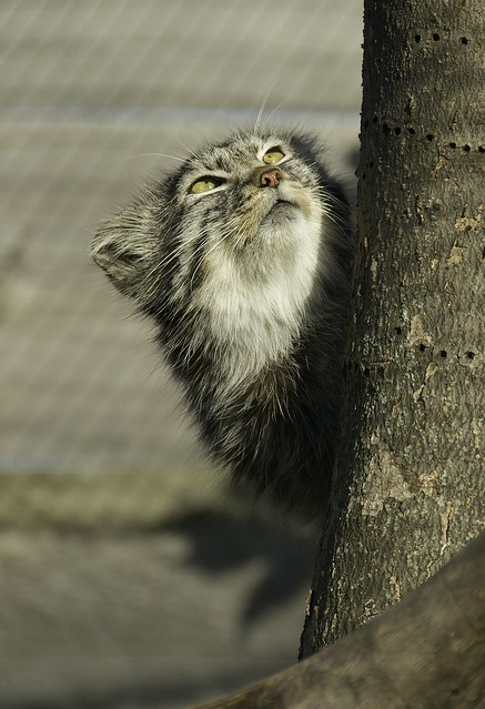Pallas Cat WLD_7563