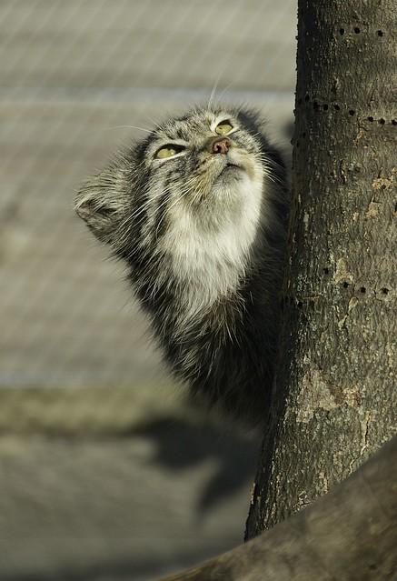 Pallas Cat WLD_7563