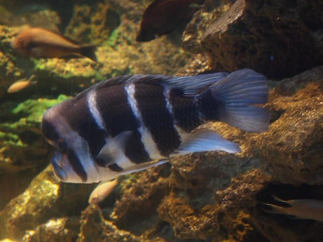 Humphead FishHumphead Fish