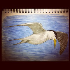 Crested tern sketch