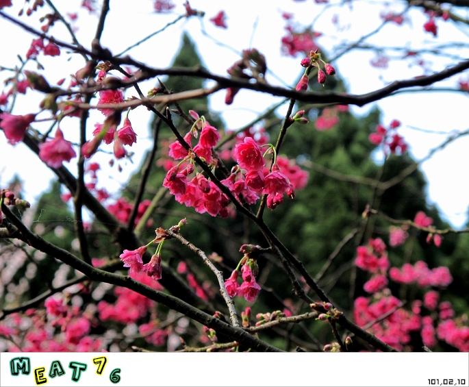 【遊記】陽明山國家公園|櫻花乍現在粉紅意境的花花世界12