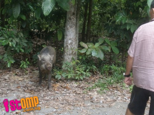 Meet the 'friendly' wild boars at the wetlands of Pulau Ubin