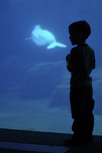 Looking at the Belugas