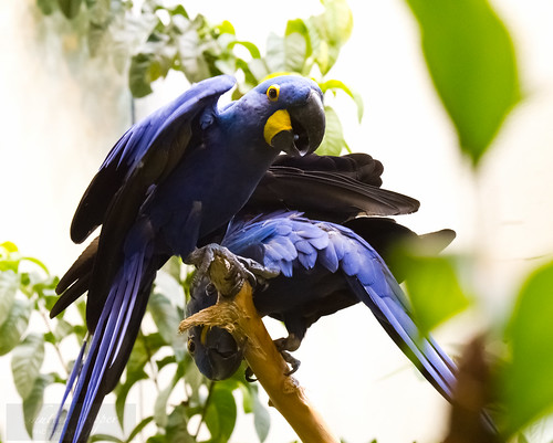 Hyacinth Macaw pair by Shiny Dewdrop