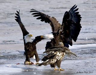 Kung Fu Bald Eagles